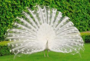 اجمل صور طاووس 2 450x304 300x203 صور خلفيات طاووس جميله ورمزيات للون طاووس ازرق