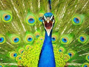 رمزيات وخلفيات طاووس 1 450x338 300x225 صور خلفيات طاووس جميله ورمزيات للون طاووس ازرق