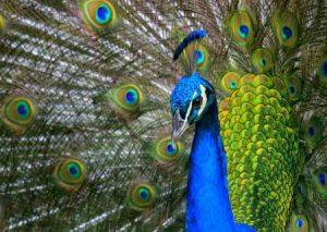 رمزيات وخلفيات طاووس 2 450x319 300x213 صور خلفيات طاووس جميله ورمزيات للون طاووس ازرق