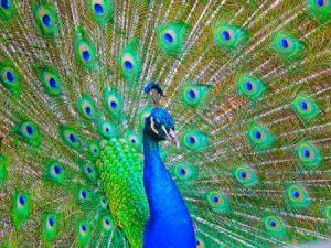 رمزيات وخلفيات طاووس 4 450x338 300x225 صور خلفيات طاووس جميله ورمزيات للون طاووس ازرق