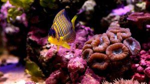 سمك ملون 2 450x253 300x169 صور رمزيات وخلفيات اسماك ملونة جديدة