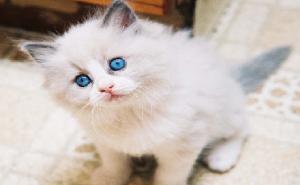 أنواع-قطط-شيرازي-300x185 صور قطط شيرازي, انواع قطط شيرازي