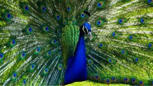 اجمل صور طاووس 3 450x253 300x169 صور خلفيات طاووس جميله ورمزيات للون طاووس ازرق