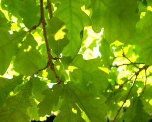 خلفيات ورق شجر جميلة 2 450x360 300x240 صور اوراق الشجر الاخضر , ورق شجر جميل في فصل الخريف