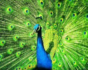 رمزيات طاووس 1 450x360 300x240 صور خلفيات طاووس جميله ورمزيات للون طاووس ازرق