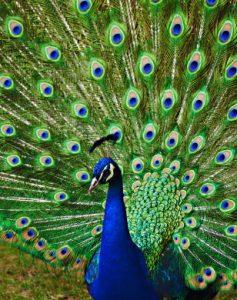 رمزيات طاووس 4 237x300 صور خلفيات طاووس جميله ورمزيات للون طاووس ازرق