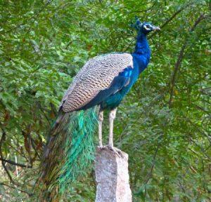 رمزيات وخلفيات طاووس 3 450x432 300x288 صور خلفيات طاووس جميله ورمزيات للون طاووس ازرق