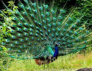 %name صور خلفيات طاووس جميله ورمزيات للون طاووس ازرق