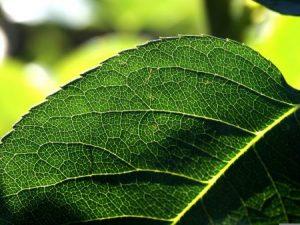 صور اوراق الشجر 2 450x338 300x225 صور اوراق الشجر الاخضر , ورق شجر جميل في فصل الخريف