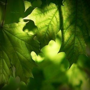 صور اوراق الشجر 4 450x450 300x300 صور اوراق الشجر الاخضر , ورق شجر جميل في فصل الخريف