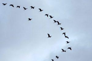 صور طيور مهاجره جميلة جدا 2 450x300 300x200 صور طبيعية جميلة , رمزيات اشبه باللوحات الفنيه