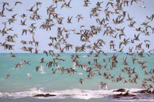 صور عن هجرة الطيور في سرب طيور مهاجرة روعة 1 450x300 300x200 صور طبيعية جميلة , رمزيات اشبه باللوحات الفنيه