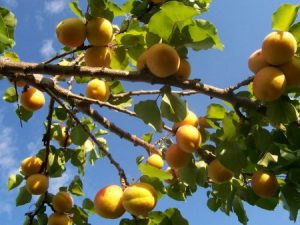 صور مشمش 4 450x338 300x225 صور عن المشمش للفيسبوك , خلفيات فاكهة المشمش
