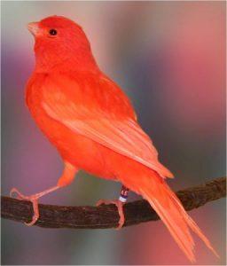 عصافير كناري 2 384x450 256x300 صور طائر الكناري الجميل , خلفيات طائر الكناري بألوانه الرائعه