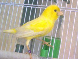 عصافير كناري 3 450x338 300x225 صور طائر الكناري الجميل , خلفيات طائر الكناري بألوانه الرائعه