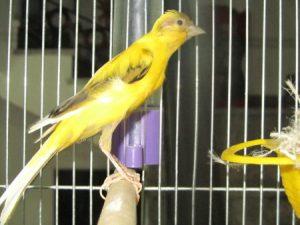عصفور كناري 1 450x338 300x225 صور طائر الكناري الجميل , خلفيات طائر الكناري بألوانه الرائعه