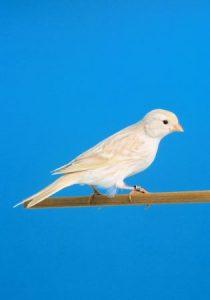 كناري جميل 1 315x450 210x300 صور طائر الكناري الجميل , خلفيات طائر الكناري بألوانه الرائعه