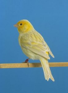 كناري جميل 2 330x450 220x300 صور طائر الكناري الجميل , خلفيات طائر الكناري بألوانه الرائعه