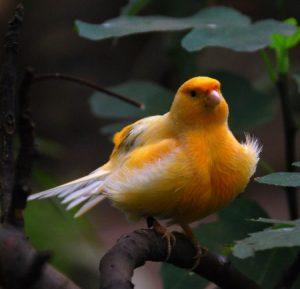 كناري 2 450x434 300x289 صور طائر الكناري الجميل , خلفيات طائر الكناري بألوانه الرائعه