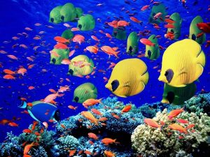 113776-300x225 صور اسماك, صور اسماك البحر الاحمر, تحميل صور اسماك متحركة