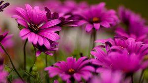 2013_1386695813_430-300x169 صور ورد, صور ورود متنوعه حمراء زرقاء جميلة لامعه, نوع جديد من الورد
