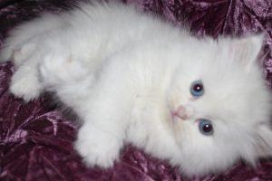 2015_1418479525_960-300x200 صور قطط شيرازي, انواع قطط شيرازي