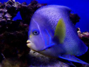 2015_1418659467_727-300x225 صور اسماك, صور اسماك البحر الاحمر, تحميل صور اسماك متحركة