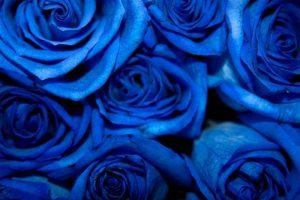 347b1fc5-936f-4540-8c75-0d9a65e94da8-300x200 صور ورد, صور ورود متنوعه حمراء زرقاء جميلة لامعه, نوع جديد من الورد