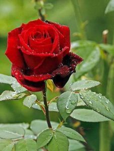71157a04fd49b1a7a9b37f6804bb1eb4-purple-roses-purple-haze-227x300 صور ورد جميلة حمراء, ورود متحركة وخلفيات جميلة, لكل من يحب صور الورد