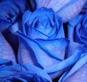 75a5c719dfa3ed1b0d38dac53653592b-300x285 صور ورد, صور ورود متنوعه حمراء زرقاء جميلة لامعه, نوع جديد من الورد