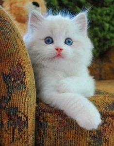 844b3f055efa90d2f4979b9ec36d6c2e-white-kittens-blue-eyes-235x300 صور قطط شيرازي, انواع قطط شيرازي