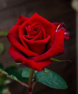 8a1a8d5111189b144dd3591841f84409-read-rose-red-a-250x300 صور ورد جميلة حمراء, ورود متحركة وخلفيات جميلة, لكل من يحب صور الورد