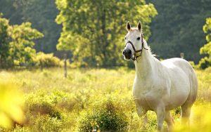 8aq1OU-300x188 صور خيول جديدة وجميلة روعة, صورة حصان عربي اصيل, احصنة حلوة خلفيات