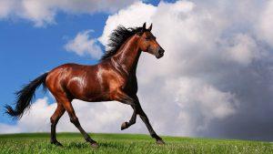 Arabian-Horse-1600x900-300x169 صور خيول جديدة وجميلة روعة, صورة حصان عربي اصيل, احصنة حلوة خلفيات