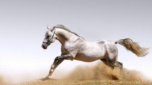 Araibian-Horse-Photo-Best-Horse-Wallpaper-300x169 صور خيول جديدة وجميلة روعة, صورة حصان عربي اصيل, احصنة حلوة خلفيات