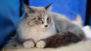 Beautiful-Maine-Coon-Cat-Wallpaper-HD-300x169 خلفيات موبيل عالية الدقه, Beautiful Wallpapers HD excellent characteristic