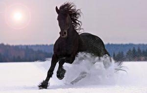 Black-Horse-Picture-Wallpaper1-300x191 صور خيول جديدة وجميلة روعة, صورة حصان عربي اصيل, احصنة حلوة خلفيات