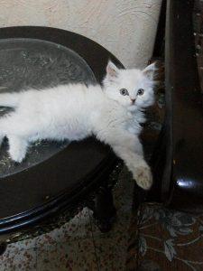 Bxb3kumCAAA9lU5-225x300 صور قطط شيرازي, انواع قطط شيرازي