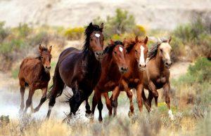 PM-BLM-Wild-Horses-300x194 صور خيول جميلة, صور حصان, اجمل صور الخيل