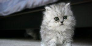 Persian-Cat-3-300x150 صور قطط شيرازي, انواع قطط شيرازي