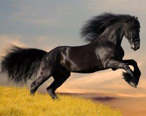 Racing-Arabian-Horse-Wallpaper_1331741389_1200-300x240 صور خيول جديدة وجميلة روعة, صورة حصان عربي اصيل, احصنة حلوة خلفيات