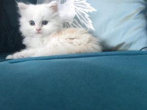Shirazi-male-kitten_1-300x225 صور قطط شيرازي, انواع قطط شيرازي