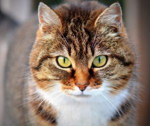 cat-300572_960_720-300x252 صور قطط حلوه, صور قطط قمرات, قطة جميله Photos Cats
