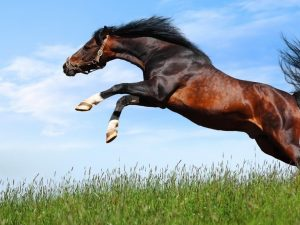dIPgD2R-300x225 صور خيول جديدة وجميلة روعة, صورة حصان عربي اصيل, احصنة حلوة خلفيات