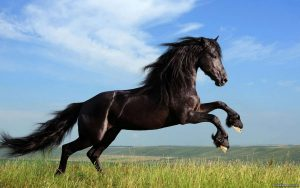 horse-02-300x188 صور خيول جميلة, صور حصان, اجمل صور الخيل