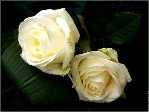 roses-10-300x225 صور ورد, صور ورود متنوعه حمراء زرقاء جميلة لامعه, نوع جديد من الورد