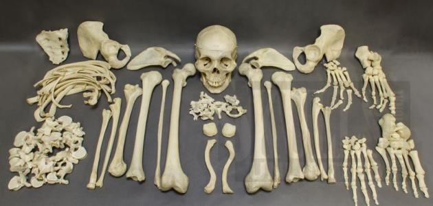 Photo of كم عدد عظام الإنسان