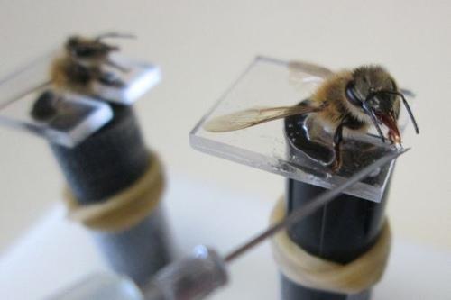 نحل كاشف عن المعادن اغرب الاشياء استخدام الحشرات في الحروب , قنابل النحل